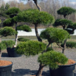 1373 - Borovice lesní - Pinus sylvestris