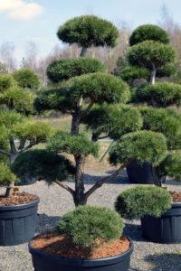 1374 - Borovice lesní - Pinus sylvestris