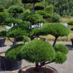 1375 - Borovice kleč - Pinus mugo