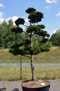 1376 - Cypřišek tupolistý - Chamaecyparis obtusa 'Nana Gracilis'