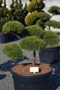 1378 - Borovice lesní - Pinus sylvestris
