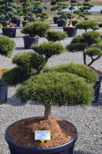 1379 - Borovice lesní - Pinus sylvestris