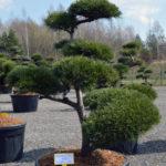 1380 - Borovice lesní - Pinus sylvestris