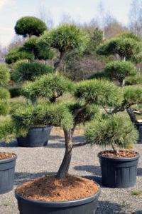 1381 - Borovice lesní - Pinus sylvestris