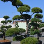 1383 - Borovice lesní - Pinus sylvestris