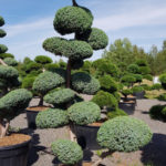 1384 - Jalovec čínský - Juniperus chinensis 'Blue Alps'