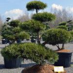 1389 - Borovice lesní - Pinus sylvestris