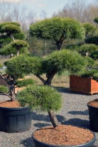 1390 - Borovice lesní - Pinus sylvestris
