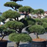 1392 - Borovice lesní - Pinus sylvestris