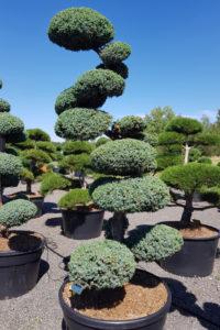 1393 - Jalovec čínský - Juniperus chinensis 'Blue Alps'