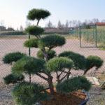 1395 - Borovice lesní - Pinus sylvestris 'Watereri'