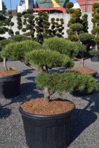 1397 - Borovice lesní - Pinus sylvestris