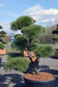1399 - Borovice lesní - Pinus sylvestris
