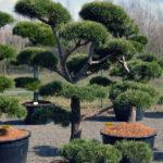 1401 - Borovice lesní - Pinus sylvestris