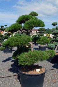 1404 - Borovice černá pravá - Pinus nigra nigra