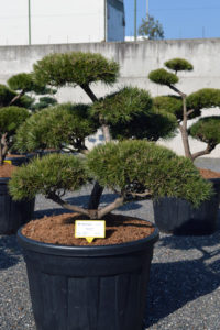1406 - Borovice lesní - Pinus sylvestris