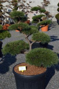 1407 - Borovice lesní - Pinus sylvestris