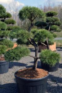1408 - Borovice lesní - Pinus sylvestris