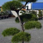 1409 - Borovice lesní - Pinus sylvestris