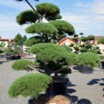 1410 - Borovice lesní - Pinus sylvestris