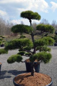 1411 - Borovice lesní - Pinus sylvestris