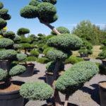 1412 - Jalovec čínský - Juniperus chinensis 'Blue Alps'