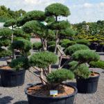 1416 - Borovice lesní - Pinus sylvestris 'Watereri'