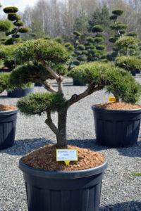 1418 - Borovice lesní - Pinus sylvestris