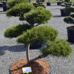 1419 - Borovice lesní - Pinus sylvestris