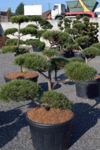 1420 - Borovice lesní - Pinus sylvestris