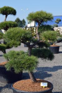 1421 - Borovice lesní - Pinus sylvestris