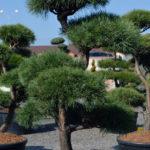 1422 - Borovice lesní - Pinus sylvestris
