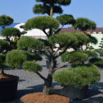 1424 - Borovice lesní - Pinus sylvestris