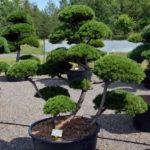 1425 - Borovice kleč - Pinus mugo