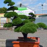 1427 - Borovice kleč - Pinus mugo