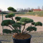 1428 - Borovice lesní - Pinus sylvestris 'Watereri'