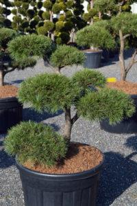 1430 - Borovice lesní - Pinus sylvestris