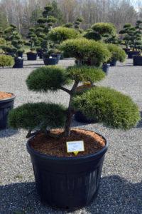 1431 - Borovice lesní - Pinus sylvestris