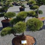 1432 - Borovice lesní - Pinus sylvestris