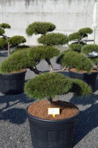 1433 - Borovice lesní - Pinus sylvestris