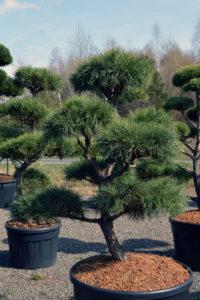 1434 - Borovice lesní - Pinus sylvestris