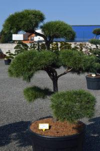 1435 - Borovice lesní - Pinus sylvestris