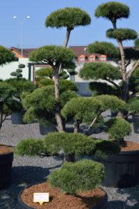 1437 - Borovice lesní - Pinus sylvestris
