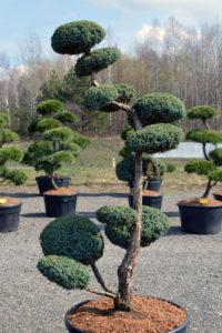 1438 - Jalovec čínský - Juniperus chinensis 'Blue Alps'