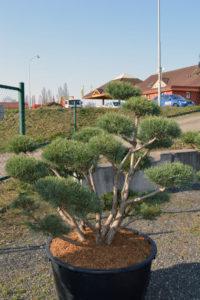 1441 - Borovice lesní - Pinus sylvestris 'Watereri'