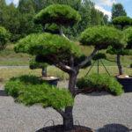 1442 - Borovice černá pravá - Pinus nigra nigra