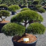 1443 - Borovice lesní - Pinus sylvestris