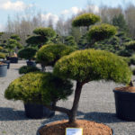 1444 - Borovice lesní - Pinus sylvestris