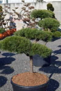 1445 - Borovice lesní - Pinus sylvestris