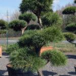 1446 - Borovice lesní - Pinus sylvestris